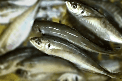 魚1804201-min
