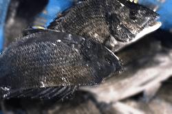魚1805152-min