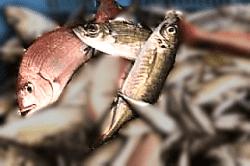 魚1805181-min