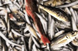 魚1805182-min