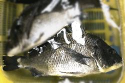 魚1805252-min