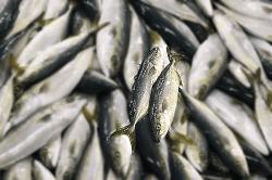 魚180620-min