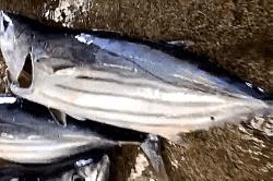 魚180629-min (1)