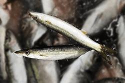 魚180809-min