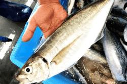 魚180828-min