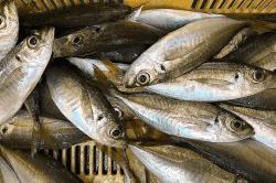 魚181105-min