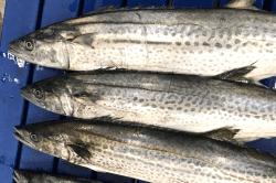 魚181114-min