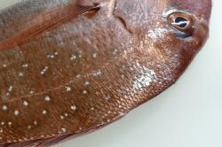 真鯛の捌き方4-min
