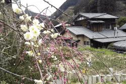 宇津ノ谷の梅-min