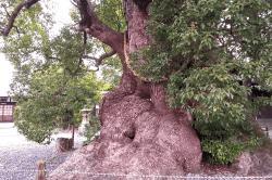 須賀神社の大楠-min