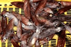 魚1704055-min